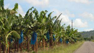 Bananier Acaba Fibre Banane