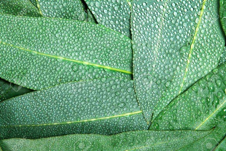 Le lyocell, fibre d'eucalyptus pour des viscoses plus écologiques